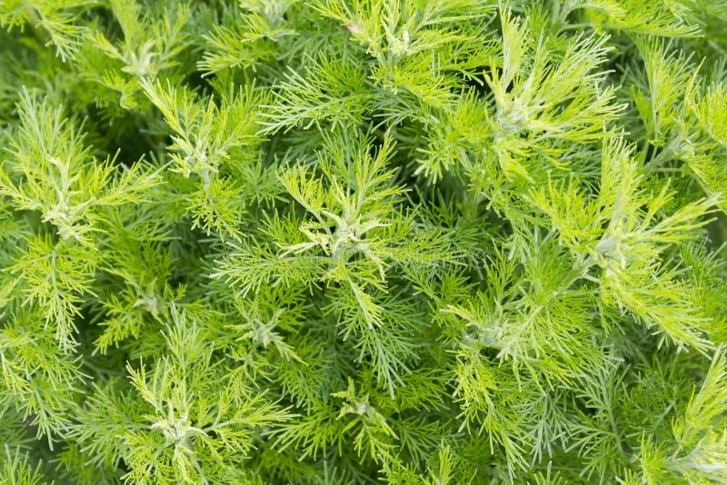 Sitherwood (Artemisia abrotanum) fotografia stock