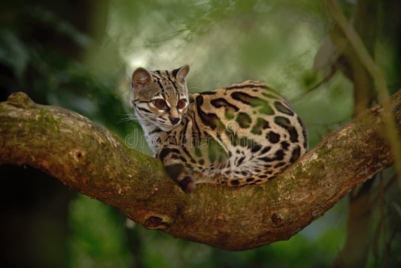 Sitiing славного кота margay на ветви в костариканском тропическом лесе стоковые изображения