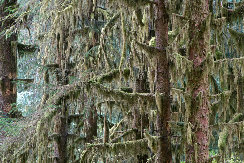 Sitka Spruce Forest stock photography