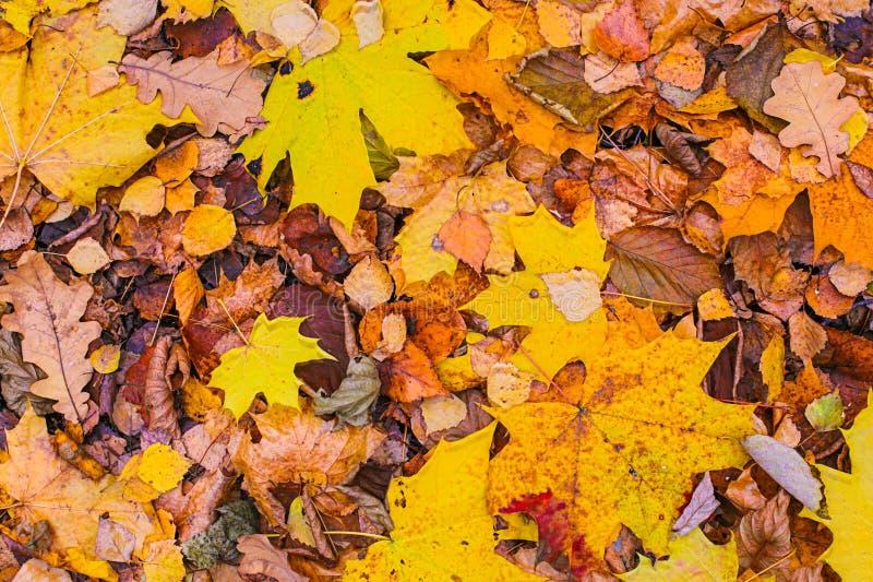 Sito basso del fondo delle foglie di autunno di Panno dell'acero della quercia del larice di progettazione variopinta luminosa de immagine stock