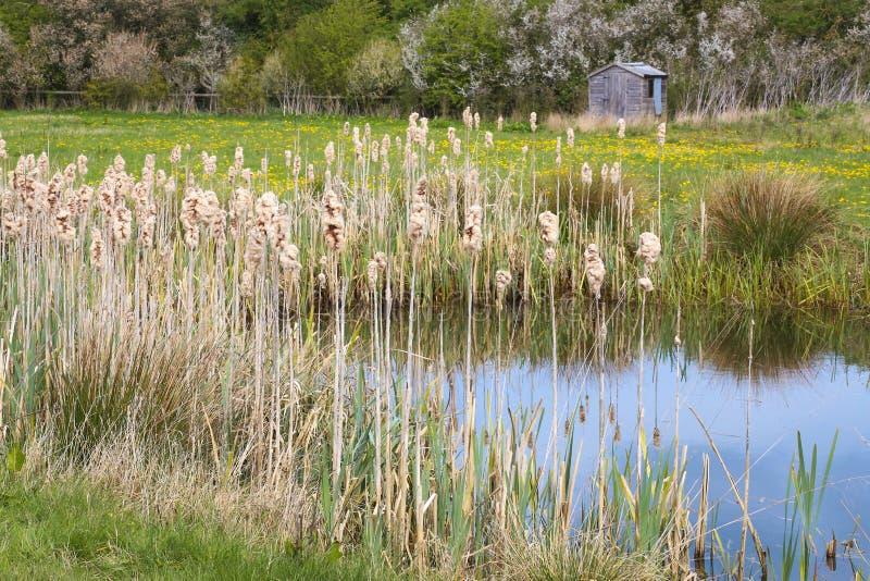 Sitowie sitowie Reedmace Typha Typhaceae ożypałki Puszyści Cobs obraz stock