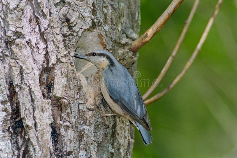 Sitta al foro del nido fotografia stock libera da diritti