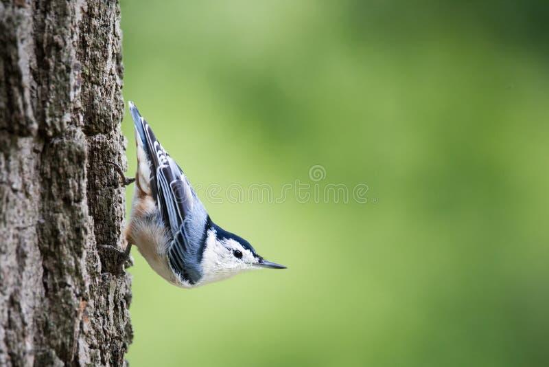 Sitta dal petto bianco appollaiata sul tronco di albero fotografia stock