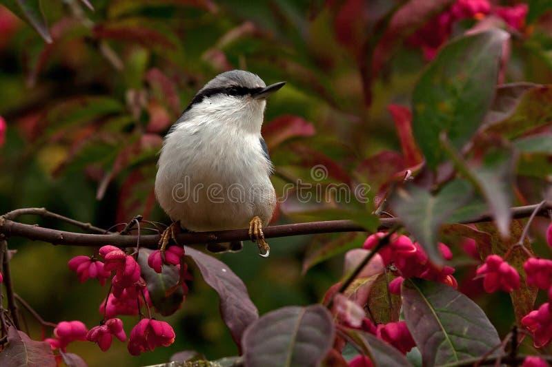 Sitta euroasiatica Il europaea del Sitta si siede su un albero di fuso sull'autunno immagine stock