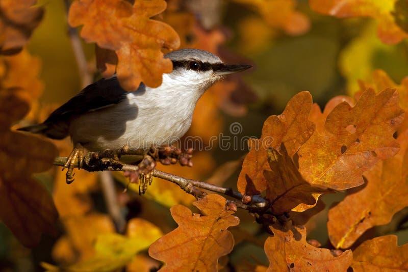 Sitta euroasiatica Il europaea del Sitta si siede su un albero sull'autunno fotografia stock libera da diritti