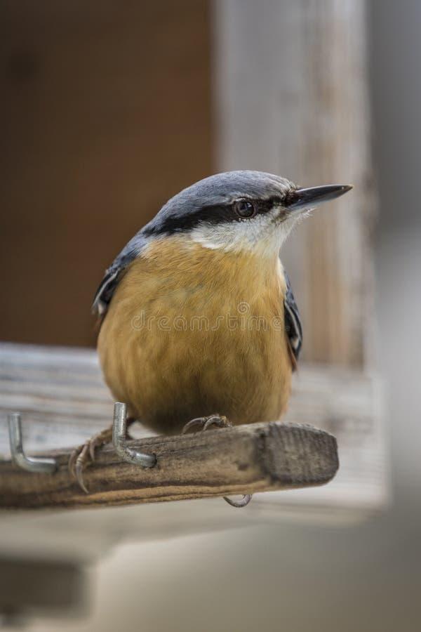Sitta europaea, das auf dem Vogelhaus sitzt lizenzfreie stockbilder