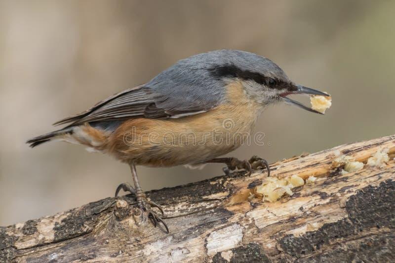 Sitta, europaea del Sitta, uccello selvaggio in habitat naturale immagine stock libera da diritti