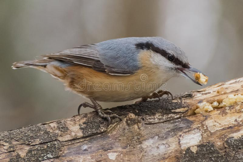 Sitta, europaea del Sitta, uccello selvaggio in habitat naturale fotografia stock