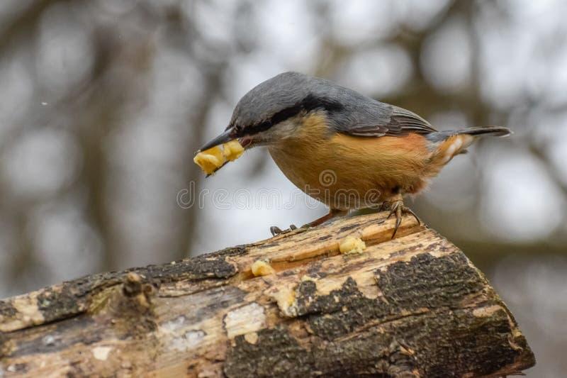 Sitta, europaea del Sitta, uccello selvaggio in habitat naturale immagine stock