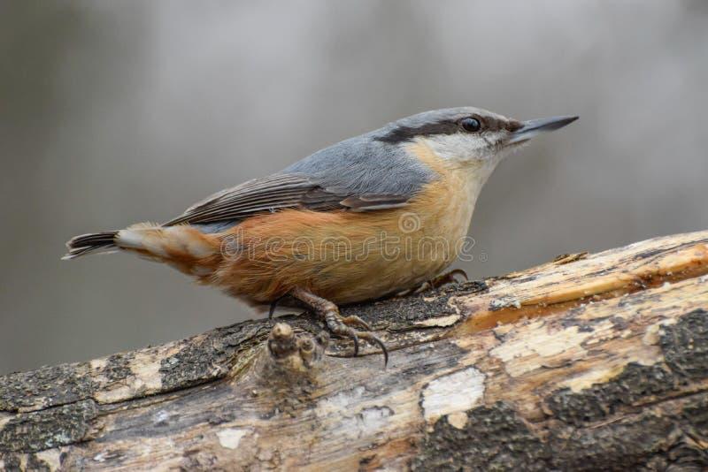 Sitta, europaea del Sitta, uccello selvaggio in habitat naturale fotografie stock
