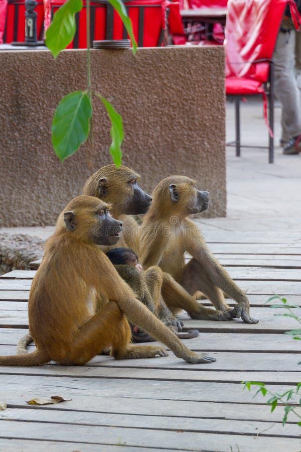 Sitta för gröna apor arkivfoton