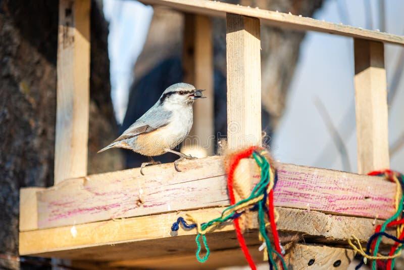 Sitta nell'alimentatore dell'uccello con il seme di girasole in suo becco fotografia stock