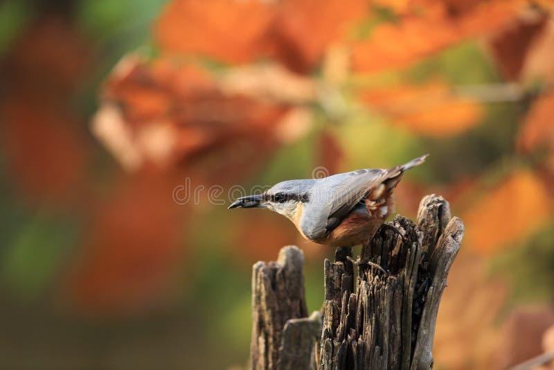 Sitta sull'alimentatore per gli uccelli fotografia stock