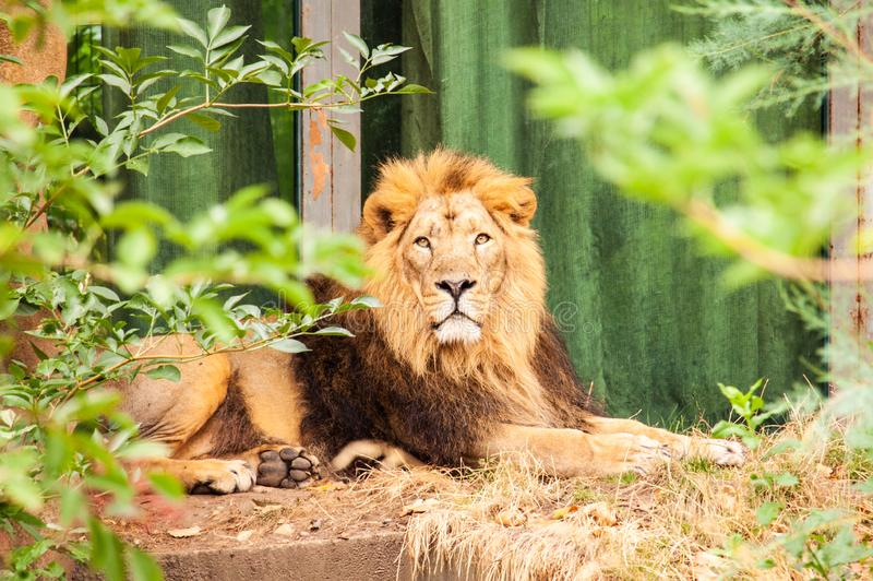 Sittande asiatic lejon i den london zoo arkivfoton