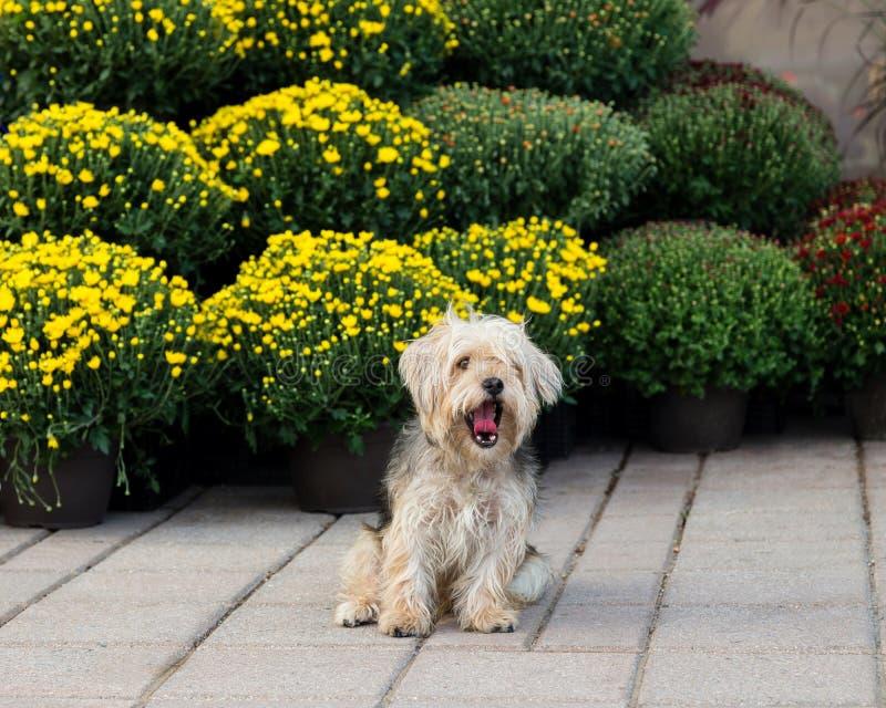 Sittande gäspa för gullig hårig terrierblandninghund på trottoaren arkivfoto