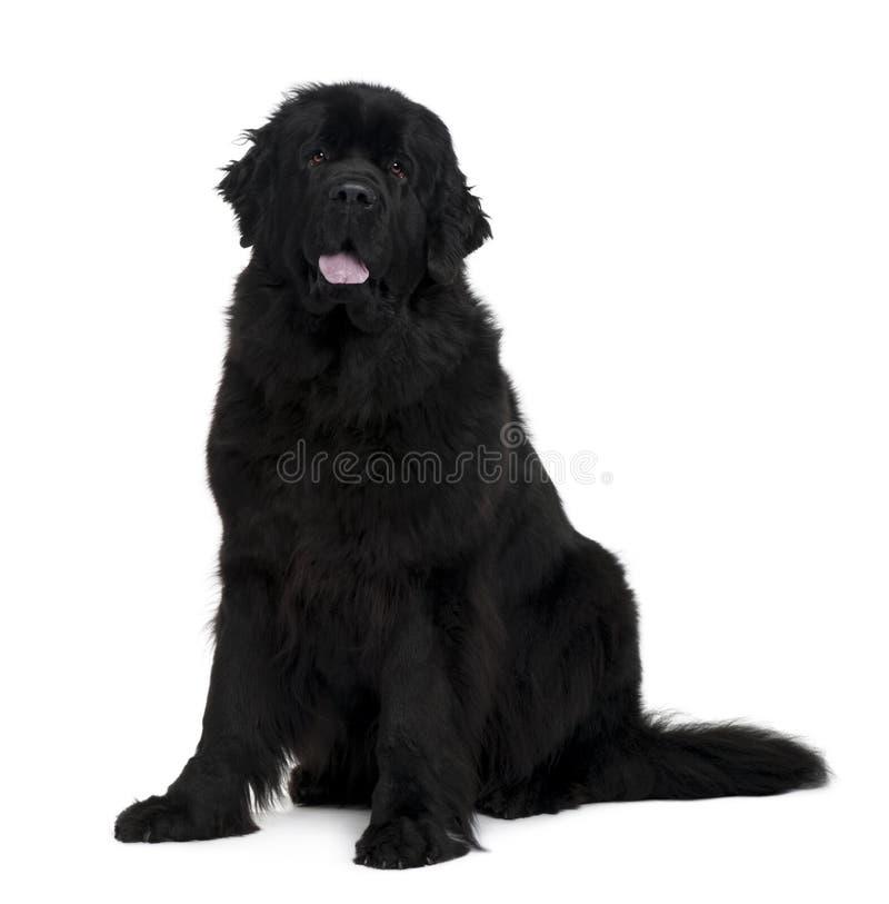sittande sikt för hundnewfoundland sida royaltyfri fotografi