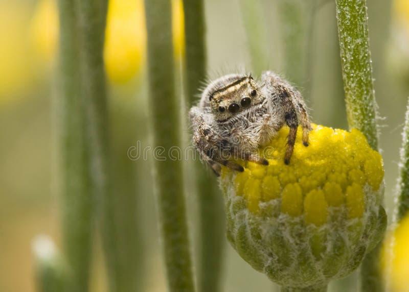 sittande spindel för blomma royaltyfria bilder
