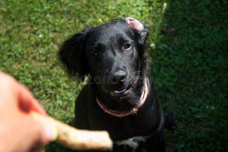 Sittande stående för svart hund - labradorbland och apportör royaltyfri fotografi