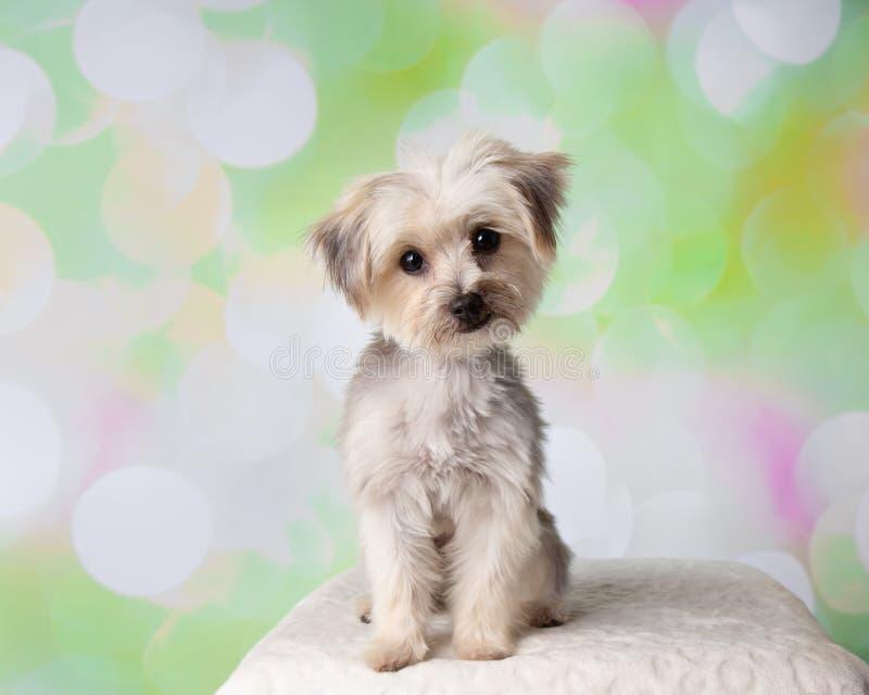 Sittande stående Morkie Yorkie för maltesisk blandninghund royaltyfri fotografi