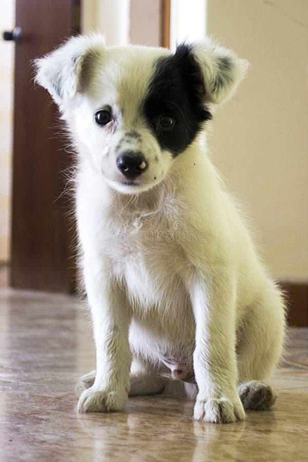 Sitted czarny i biały mały pies zdjęcie royalty free