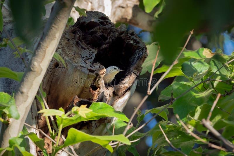 Sittelle blanche de Breasted étée perché sur un tronc d'arbre images stock