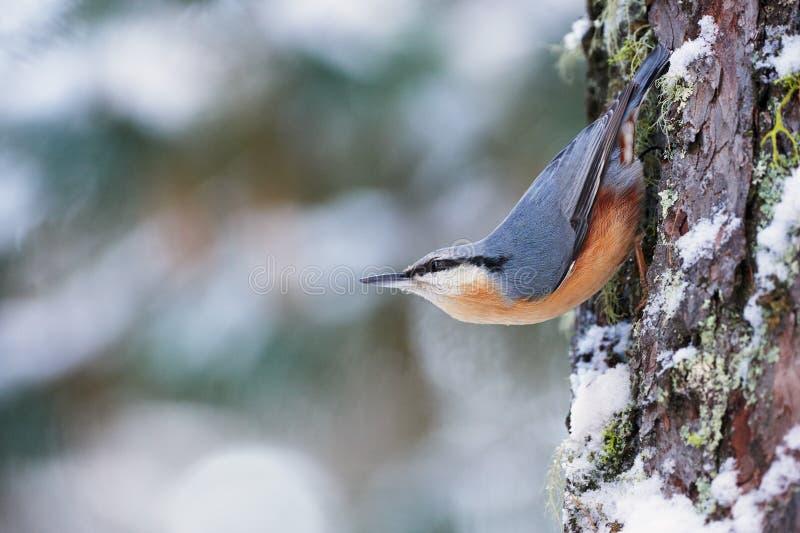 Sittelle sur l'arbre photo libre de droits