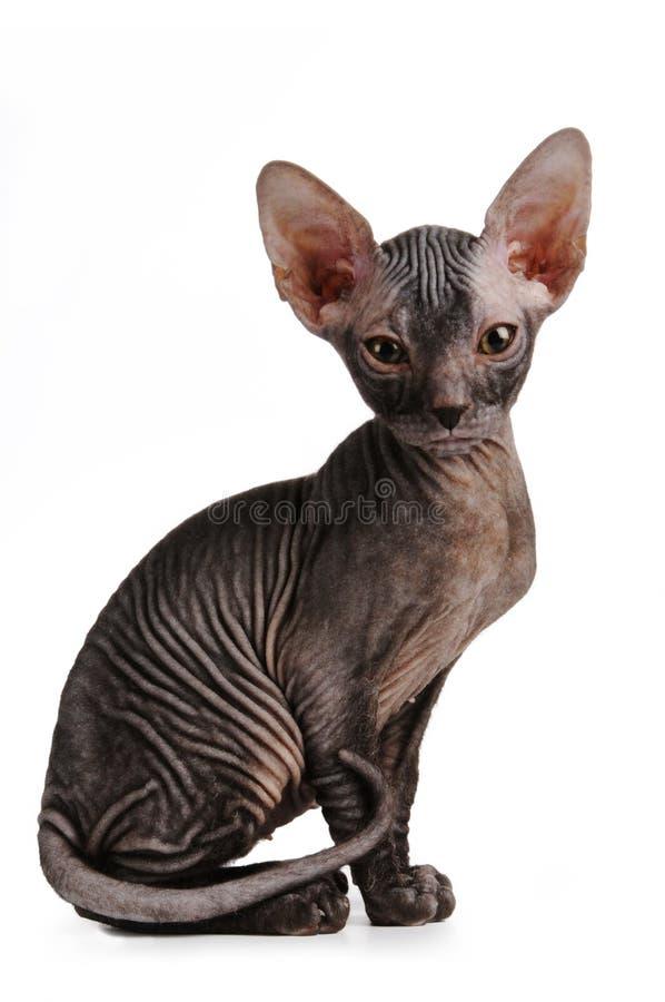 sitter den svart färg isolerade kattungen sphinxwhite royaltyfria foton