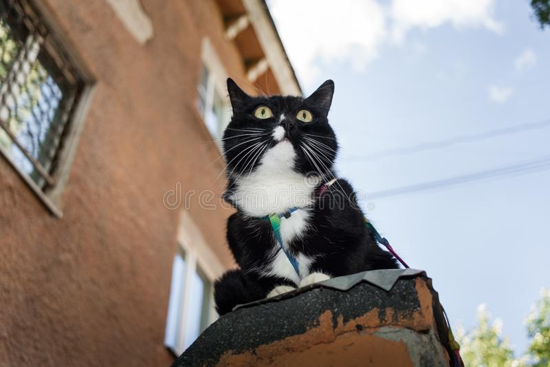 Sitter den svartvita katten för närbilden med selet på stenen le royaltyfria foton