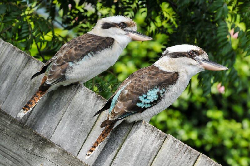 Sitter skratta skrattfågel två på ett trästaket arkivbilder