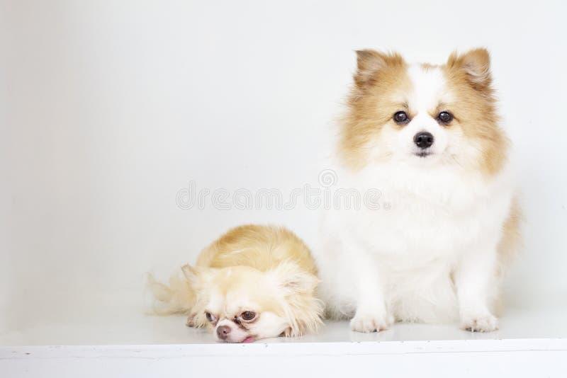 Sitti peludo bonito e bonito dos cães, o branco e o marrom de Pomeranian fotos de stock