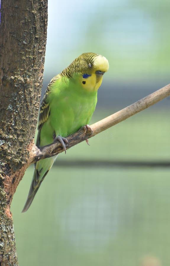 Sittich mit grünem Kasten und gelbem Gesicht in einem Baum lizenzfreie stockfotografie