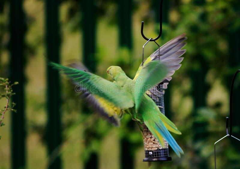 Sittiche im Flug mit Flügeln verbreiteten Gezänk auf einer Vogelzufuhr lizenzfreies stockbild