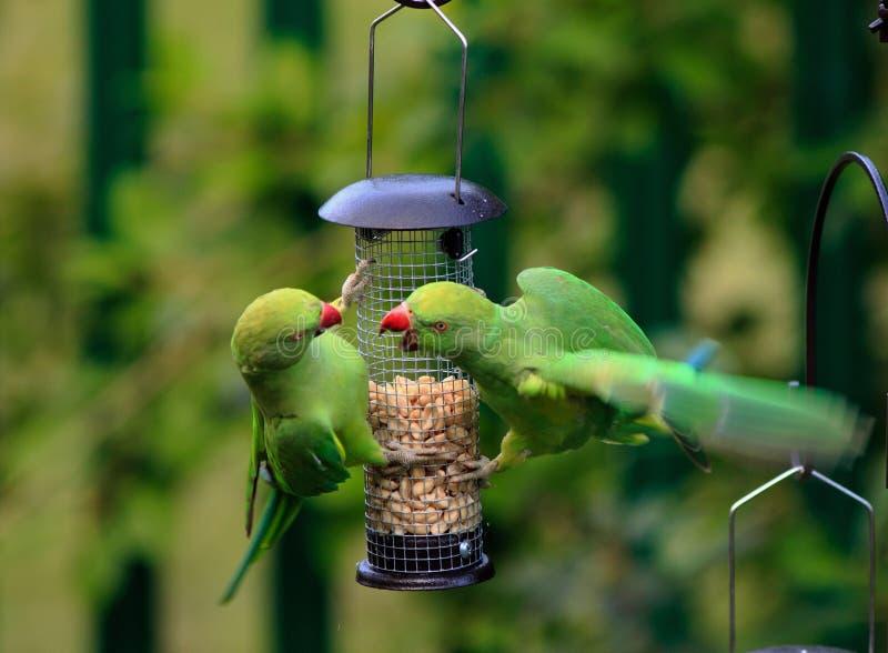 Sittiche mit den Flügeln verbreitet - Gezänk auf einer Vogelzufuhr lizenzfreie stockfotos