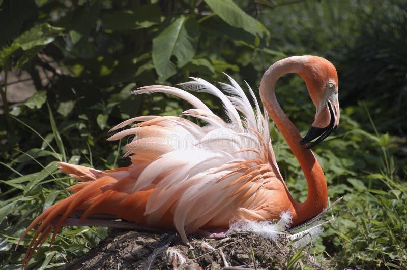 Sittin cor-de-rosa do flamingo no ninho fotos de stock royalty free
