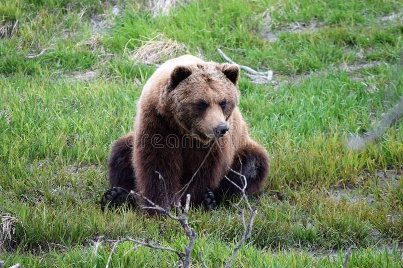 Sitting Alaskan Brown Bear stock image