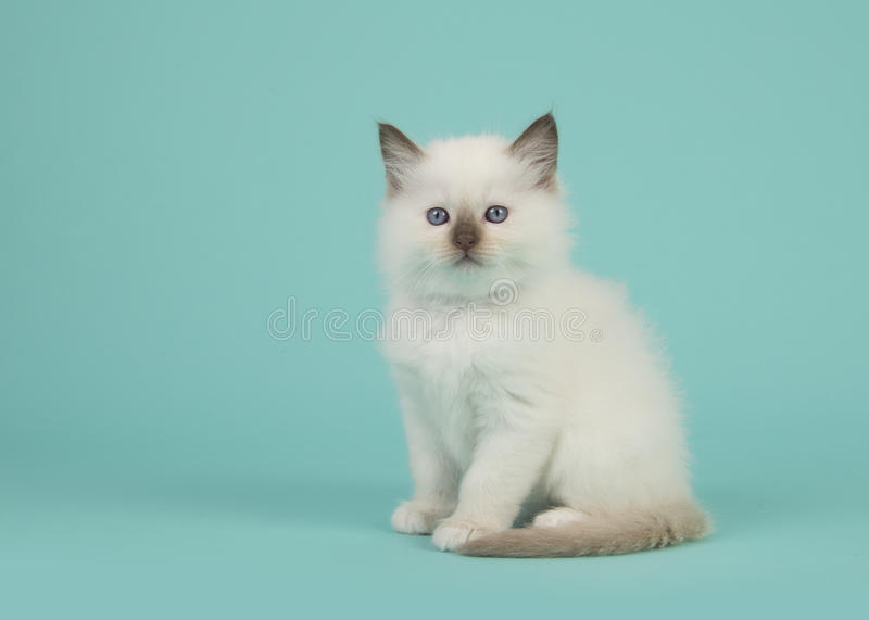 Sitting baby rag doll cat facing the camera on a blue turquoise background. Cute sitting baby rag doll cat facing the camera on a blue turquoise background royalty free stock image