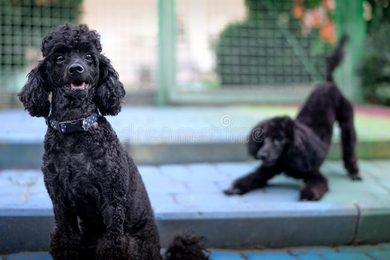 Two playing poodles royalty free stock images