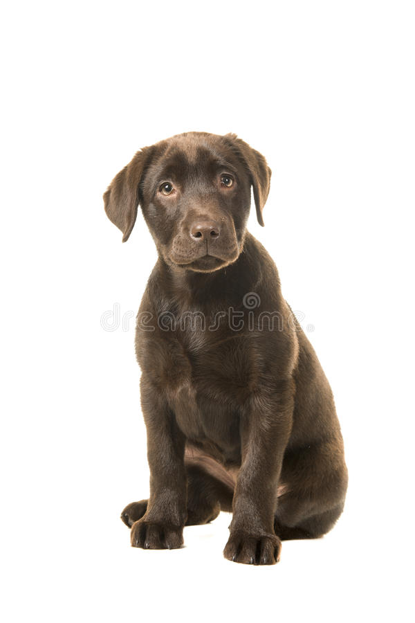 Sitting brown 4 months old labrador retreiver puppy looking at the camera. Isolated on a white background royalty free stock images