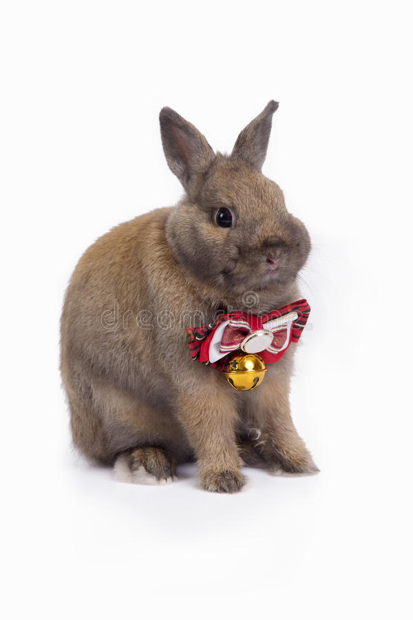 Sitting brown netherland dwarf rabbit with red necktie. royalty free stock images