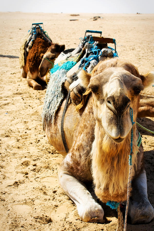 Sitting camels in Sahara