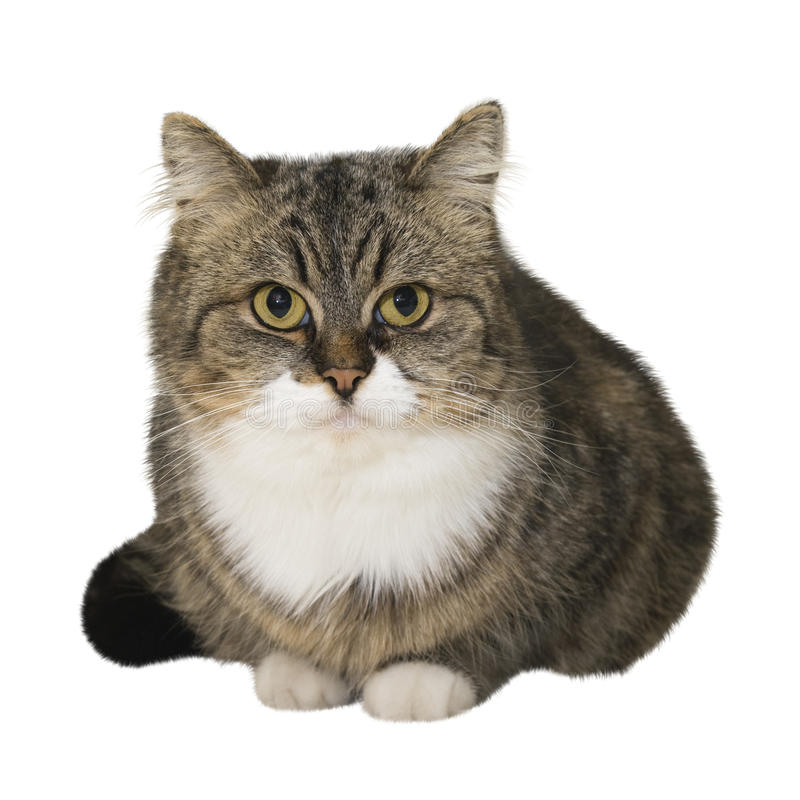 Sitting cat. Sitting brown cat isolated over white background stock photography