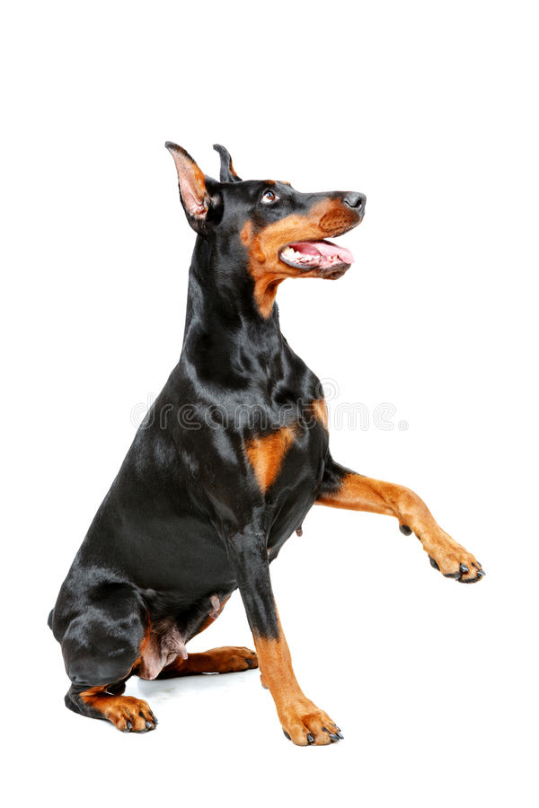 Sitting doberman pinscher giving his paw. Put out your paw. Sitting doberman pinscher giving his paw on isolated white background royalty free stock images