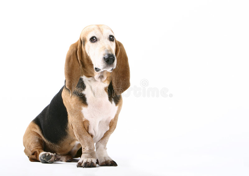 Sitting dog. Siting dog high key royalty free stock photos