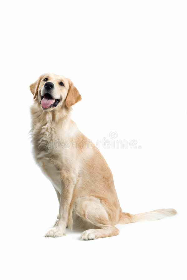 Sitting dog royalty free stock photo