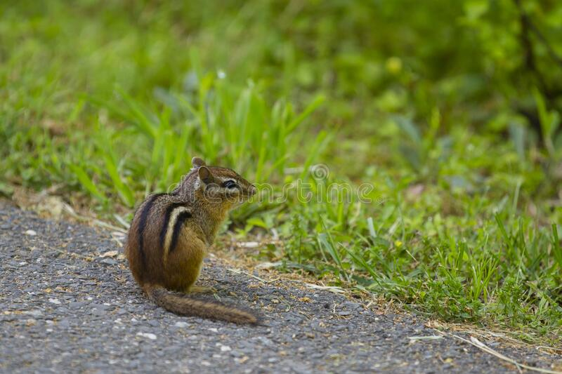 Portrait of an Eastern Chipmunk stock images