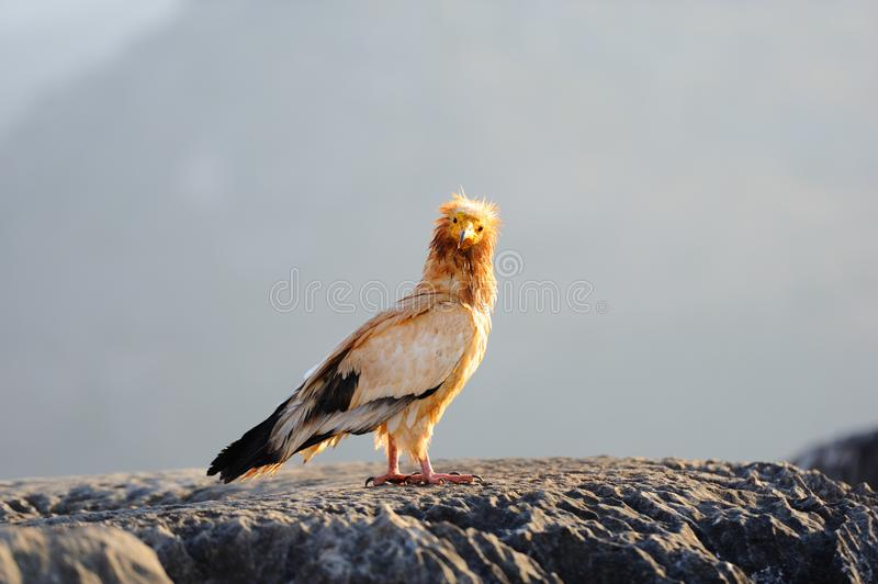 Sitting Egyptian Vulture Neophron percnopterus in Socotra isla. Nd, Yemen stock photo