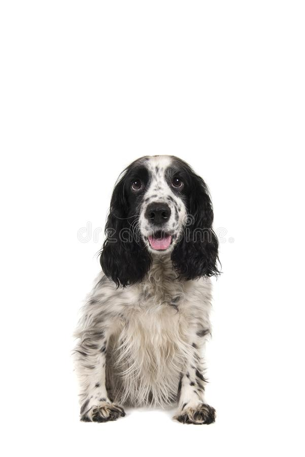 Sitting english cocker spaniel with mouth open seen from the front. Isolated on a white background stock image