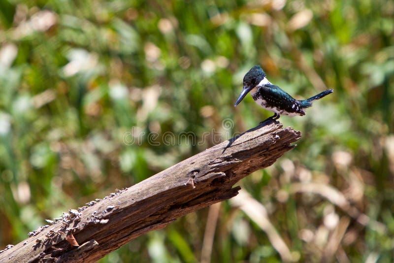 sitting för kingfisher för amazon fågelfilial royaltyfria bilder