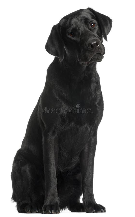 sitting för retriever för 10 labrador månader gammal arkivfoto