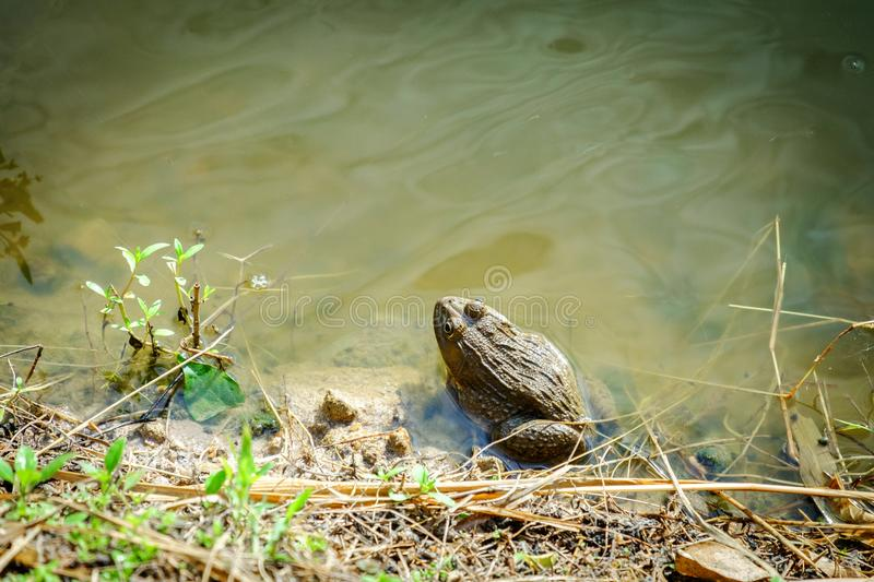 Sitting Frog in the Pond stock image